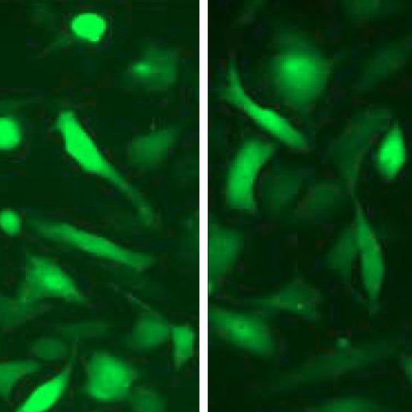 Green Fluorescent MDA-MB-231 Cell Line