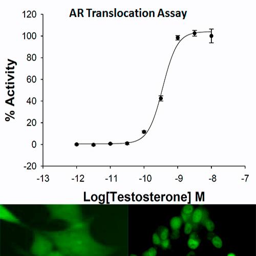 Androgen Receptor Translocation Assay