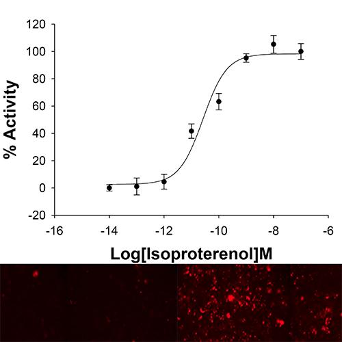 cAMPNOMAD ADRB3 Receptor Cell Line