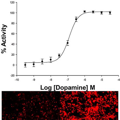 D1 Dopamine Receptor Cell Line