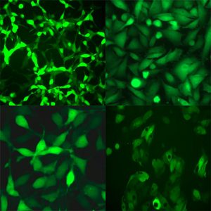 Green Fluorescent Cell Lines