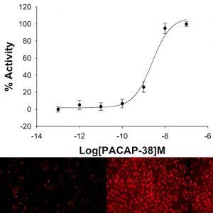NOMAD VPAC1 Receptor Cell Line