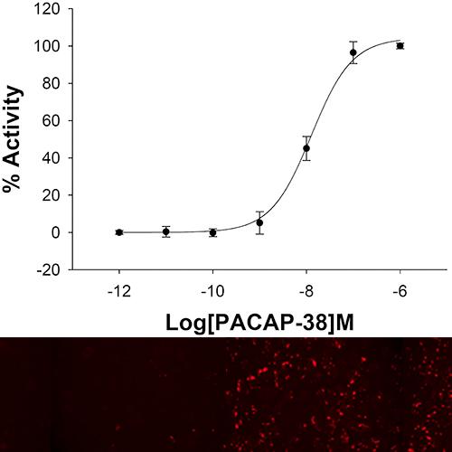 NOMAD VPAC2 Receptor Cell Line