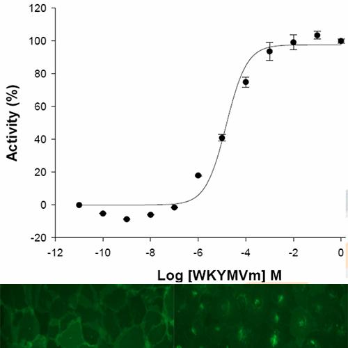 FPR2-ALX receptor internalization Assay