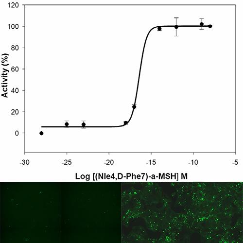 MC3 Melanocortin Receptor Assay
